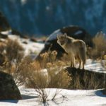 Animals of Yellowstone